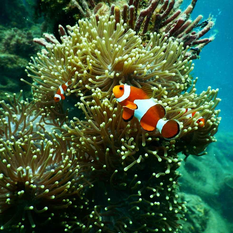 Anemonefish