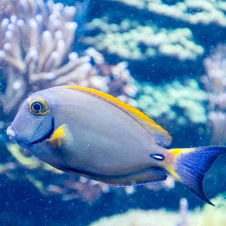 grey, blue and yellow salt fish